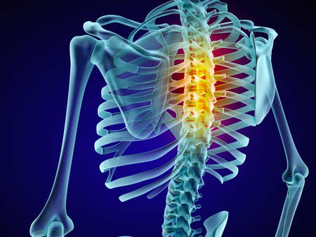 intervertebral: Human skeleton and spine. Xray view. Medically accurate 3D illustration