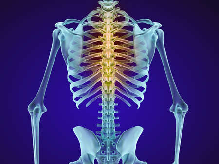 lamina: Human skeleton and spine. Xray view. Medically accurate 3D illustration