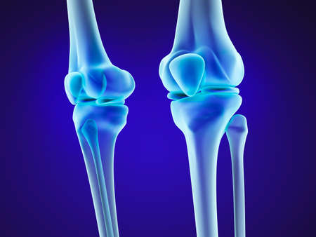 articular: Knee anatomy. Xray view. Medically accurate 3D illustration Stock Photo