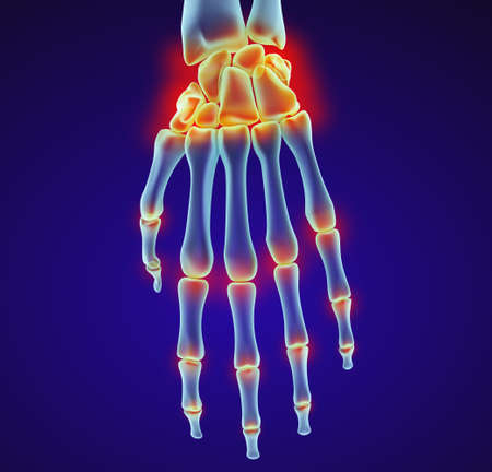 ulna: Human wrist anatomy. Xray view. Medically accurate 3D illustration