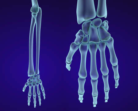 wrist joint: Human hand anatomy. Medically accurate 3D illustration