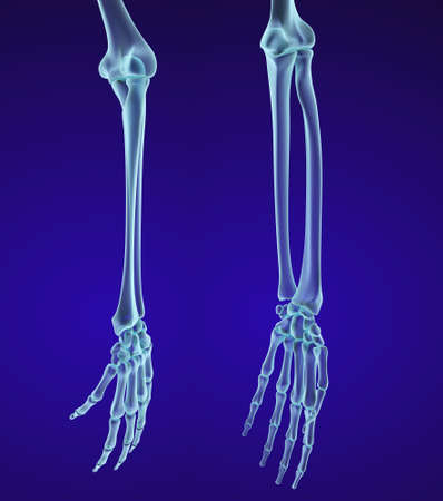 elbows: Human hand anatomy. Medically accurate 3D illustration