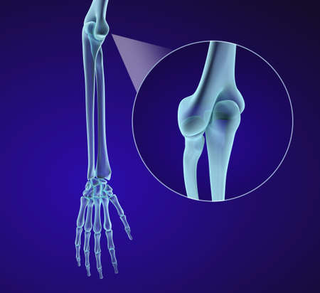 ulna: Human hand anatomy. Medically accurate 3D illustration