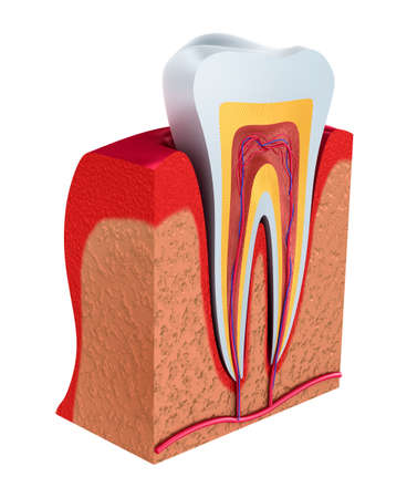 pulp: Section of the tooth. pulp with nerves and blood vessels. 3D illustration