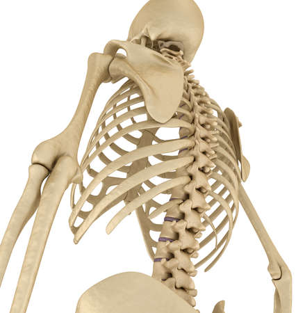 Human skeleton: breast chest. Isolated on white. Medically accurate 3D illustration Stock Photo