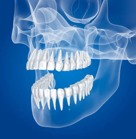scull: Transparent scull and teeth, xray view. 3D illustration.