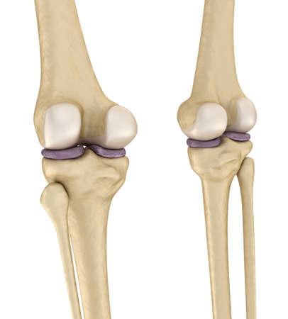 Knieanatomie. Isoliert Auf Weiß. Medizinisch Genaue 3D-Darstellung ...