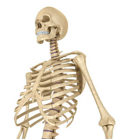 Human skeleton, breast chest. Isolated on white. Medically accurate 3D illustration Stock Photo