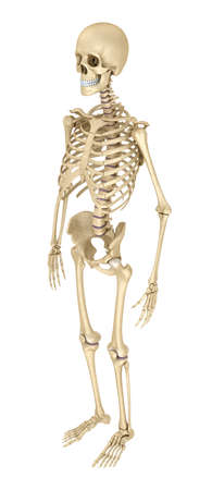 bony: Human skeleton isolated, Medically accurate 3d illustration. Stock Photo