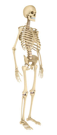 sternum: Human skeleton isolated, Medically accurate 3d illustration. Stock Photo
