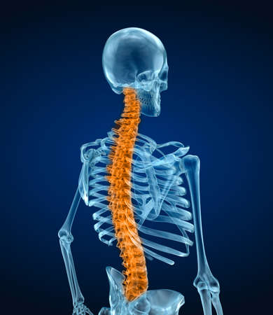Human skeleton and spine. Xray view. Medically accurate 3D illustration