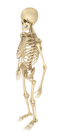 didactic: Human skeleton isolated, Medically accurate 3d illustration. Stock Photo