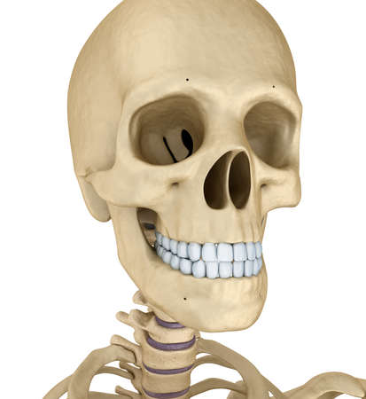 lacrimal: Human skull skeleton, isolated. Medically accurate 3d illustration.