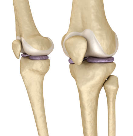 kneecap: Knee anatomy. Isolated on white. Medically accurate 3D illustration