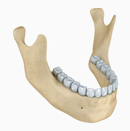 dentin: Lower jaw skeleton and teeth anatomy. Medical accurate 3D illustration Stock Photo
