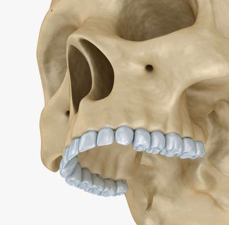 huesos humanos: esqueleto cráneo humano, aislado. Médicamente correcta Ilustración 3D.