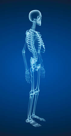 humerus: Human skeleton, Medically accurate 3d illustration.
