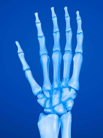 ulna: Human wrist anatomy. Xray view. Medically accurate 3D illustration