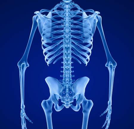 Squelette humain, Médicalement précis 3d illustration.