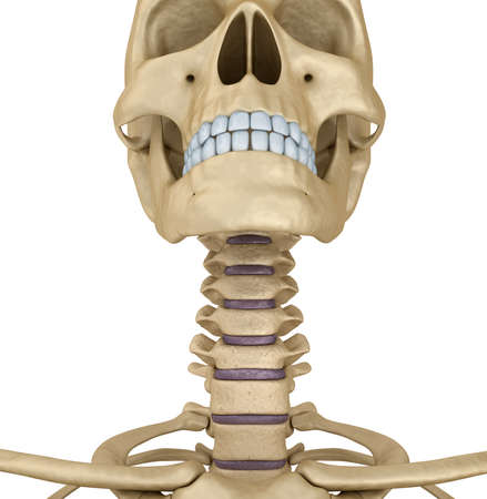 cráneo esqueleto humano: la garganta, aislado. Médicamente correcta Ilustración 3D.