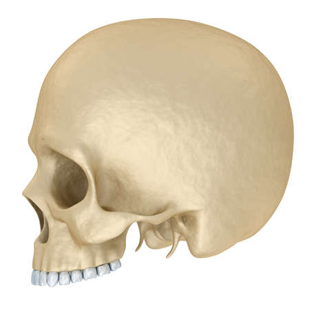 temporal: Human skull skeleton, isolated. Medically accurate 3d illustration.