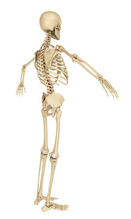 tibia: Human skeleton isolated, Medically accurate 3d illustration. Stock Photo