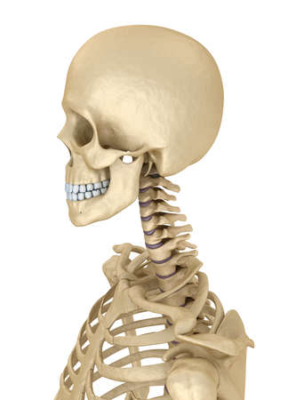 Torso of human skeleton, isolated. Medically accurate 3d illustration. Stock Photo