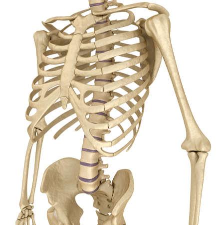nudo maschile: Scheletro umano: petto del seno. Vista frontale. Medico accurato illustrazione 3D Archivio Fotografico