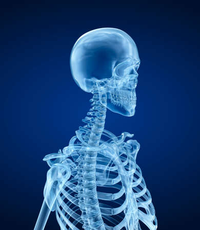 thorax: Human skeleton - head, Medically accurate 3d illustration. Stock Photo