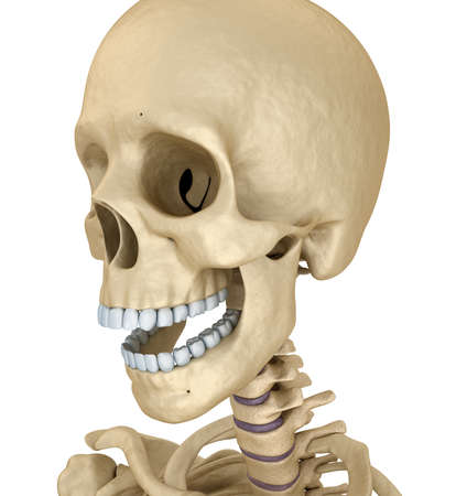 ethmoid: Human skull skeleton, isolated. Medically accurate 3d illustration.