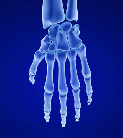 skeletal system: Human wrist anatomy. Xray view. Medically accurate 3D illustration