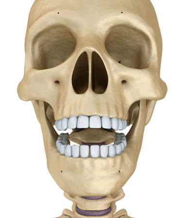 calavera caricatura: esqueleto cráneo humano, aislado. Médicamente correcta Ilustración 3D.
