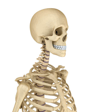 bony: Torso of human skeleton, isolated. Medically accurate 3d illustration. Stock Photo