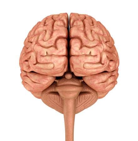 oblongata: Human brain 3D model, isolated on white. Medically accurate 3D illustration Stock Photo