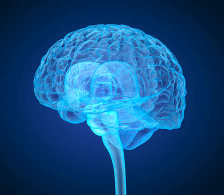 thalamus: Human brain X-ray scan, Medically accurate 3D illustration