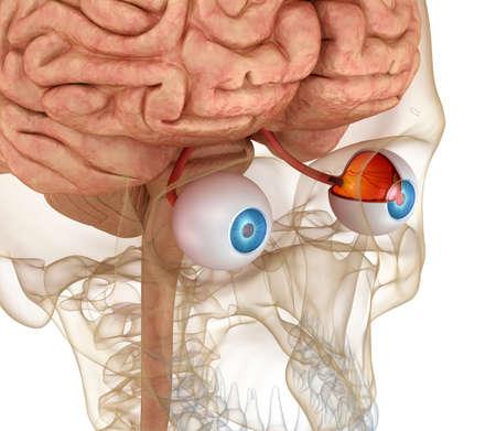 Eye anatomie en skelet geïsoleerd op wit. 3D render Stockfoto