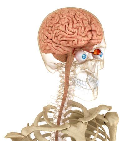 目の解剖学とスケルトン白で隔離。3 D のレンダリング