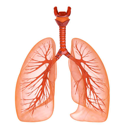 chest cavity: Human lungs and trachea. Medically accurate 3D illustration Stock Photo