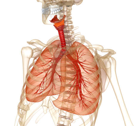 cavities: Human lungs, trachea and skeleton. Medically accurate 3D illustration Stock Photo