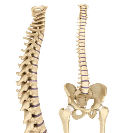 lateral: Spinal cord and pelvis. Medically accurate 3D illustration