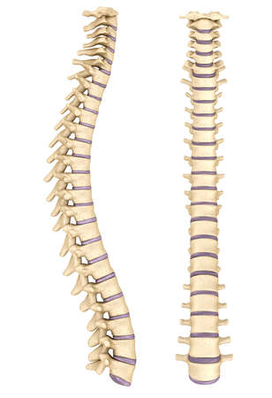 lateral: Spine anatomy, 3d render Stock Photo