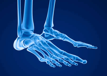 cuboid: Human skeleton: skeletal foot. Medically accurate 3D illustration