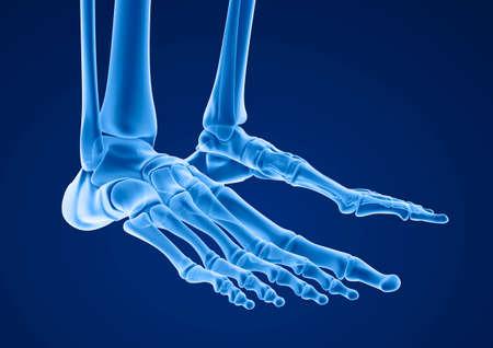 talus: Human skeleton: skeletal foot. Medically accurate 3D illustration