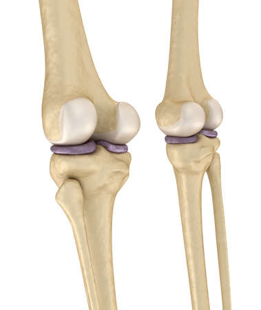 Knee joint anatomy. Medically accurate 3d illustration.