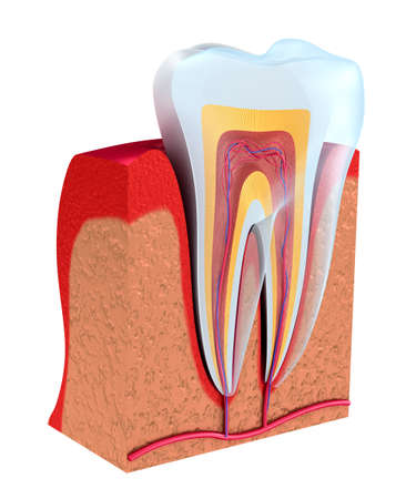 Section of the tooth. pulp with nerves and blood vessels. 3D illustration