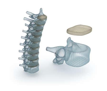 medula espinal: Modelo de alambre de la médula espinal humana, ilustración 3d