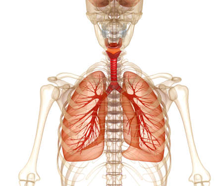 chest cavity: Human lungs, trachea and skeleton. Medically accurate 3D illustration Stock Photo