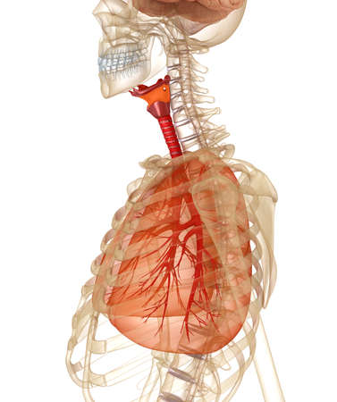 Human lungs, trachea and skeleton. Medically accurate 3D illustration Stock Photo