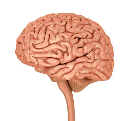 brain illustration: Human brain 3D model, isolated on white. Medically accurate 3D illustration Stock Photo