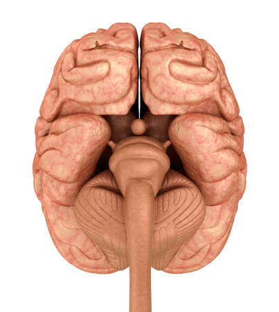 Human brain 3D model, isolated on white. Medically accurate 3D illustration Stock Photo